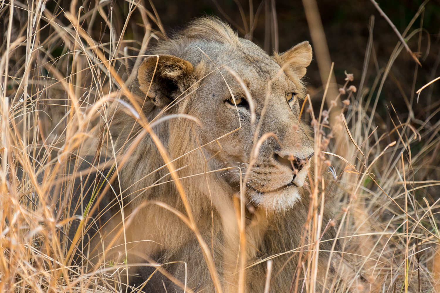 Male Lion, Kapamba Lodge, South Luangwa, Zambia