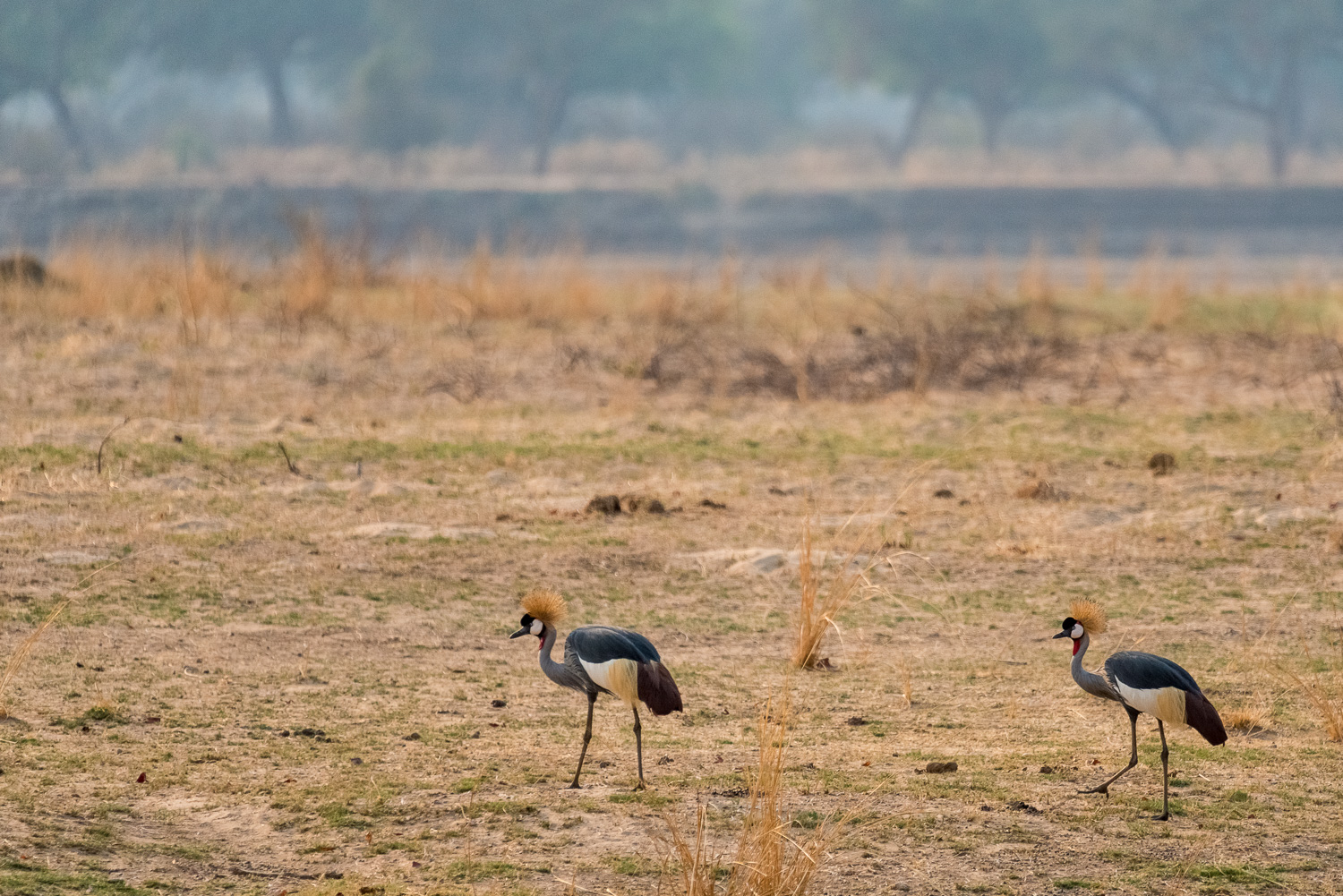 Crowned Crane, Kapamba Lodge, South Luangwa, Zambia