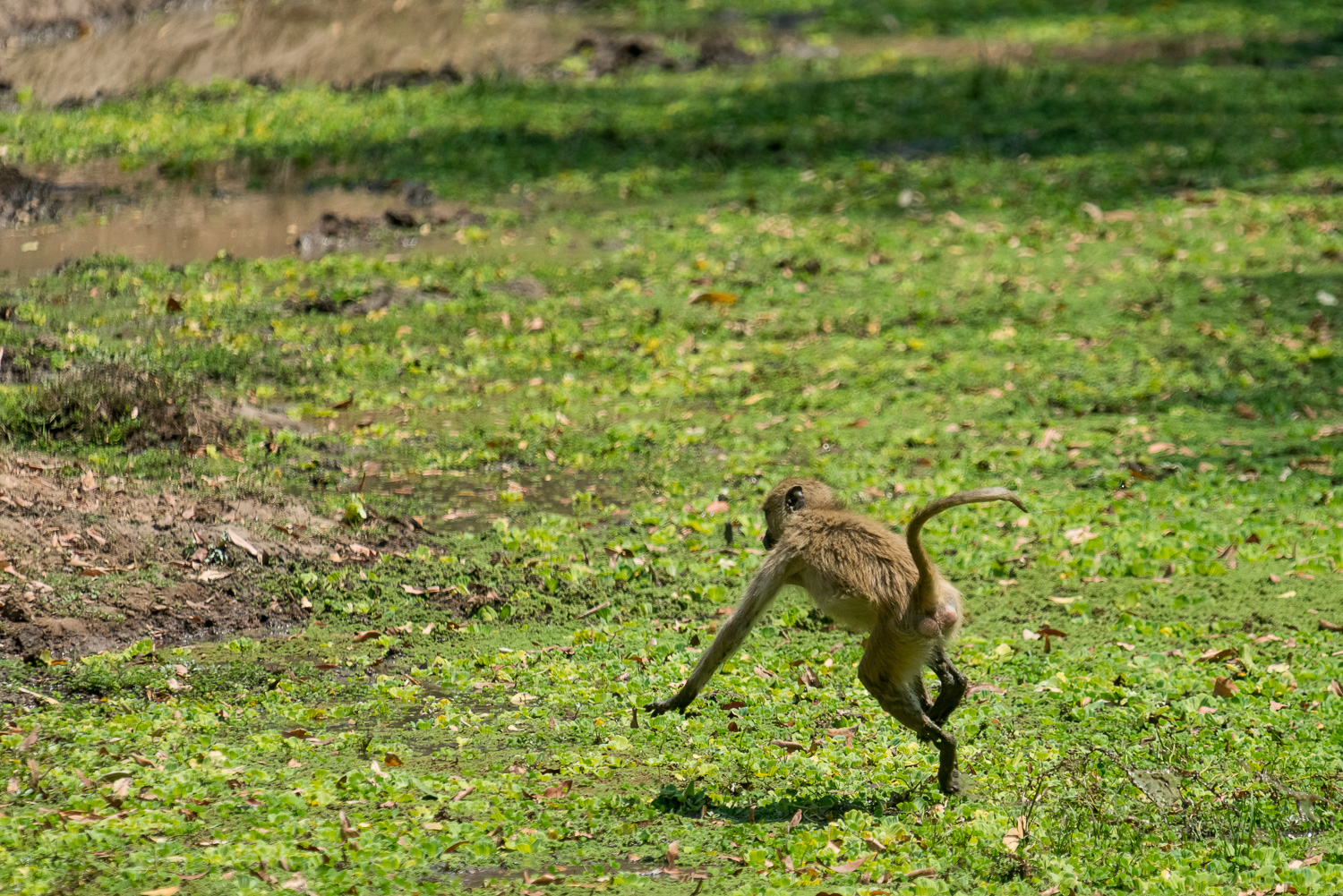 Baboon, Bilimungwe Lodge, South Luangwa, Zambia