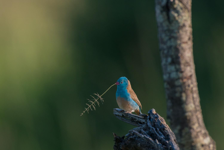 Blue-Capped Cordon Bleu, Serengeti