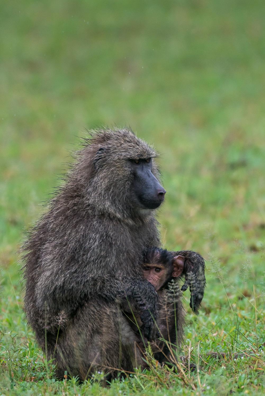 Baboon and cub, Serengeti