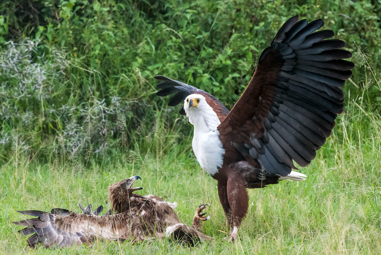 Tawny & Fish Eagle Fighting, Serengeti