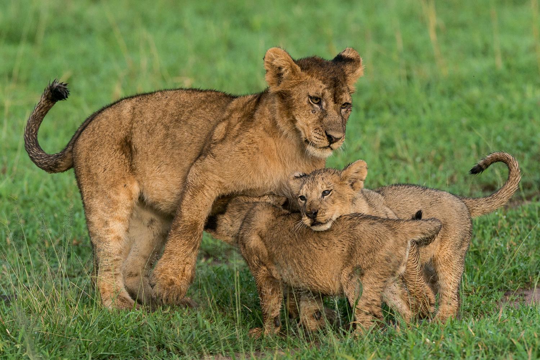 Lion Cubs, Serengeti