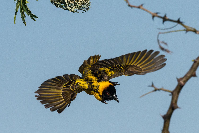 Black Headed Weaver, Serengeti