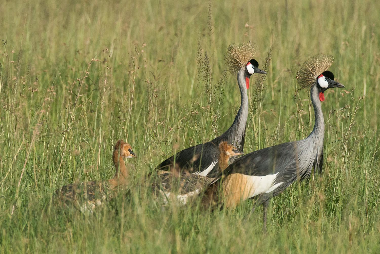 Grey Crowned Cranes, Serengeti