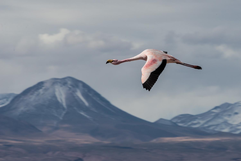 Chilean Flamingo, Laguna Chaxa, Chile