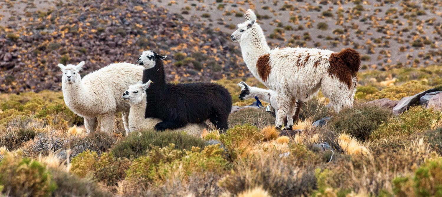Alpaca, Altiplano, Chile