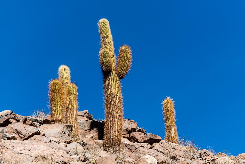 Cactus, Guatin, Atacama Desert, Chile
