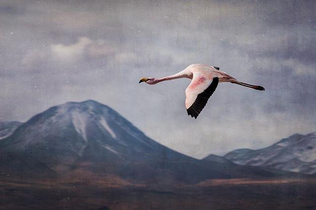 Chilien Flamingo, San Pedro de Atacama