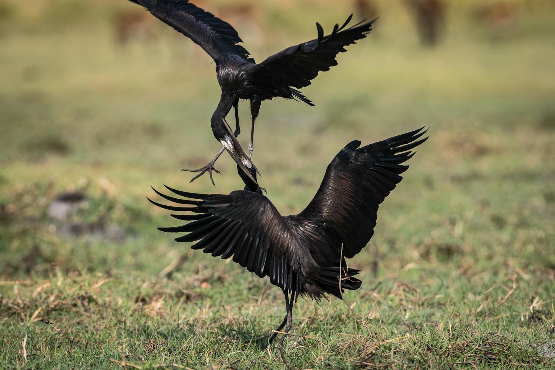Openbilled stork, Chobe National Park, Botswana