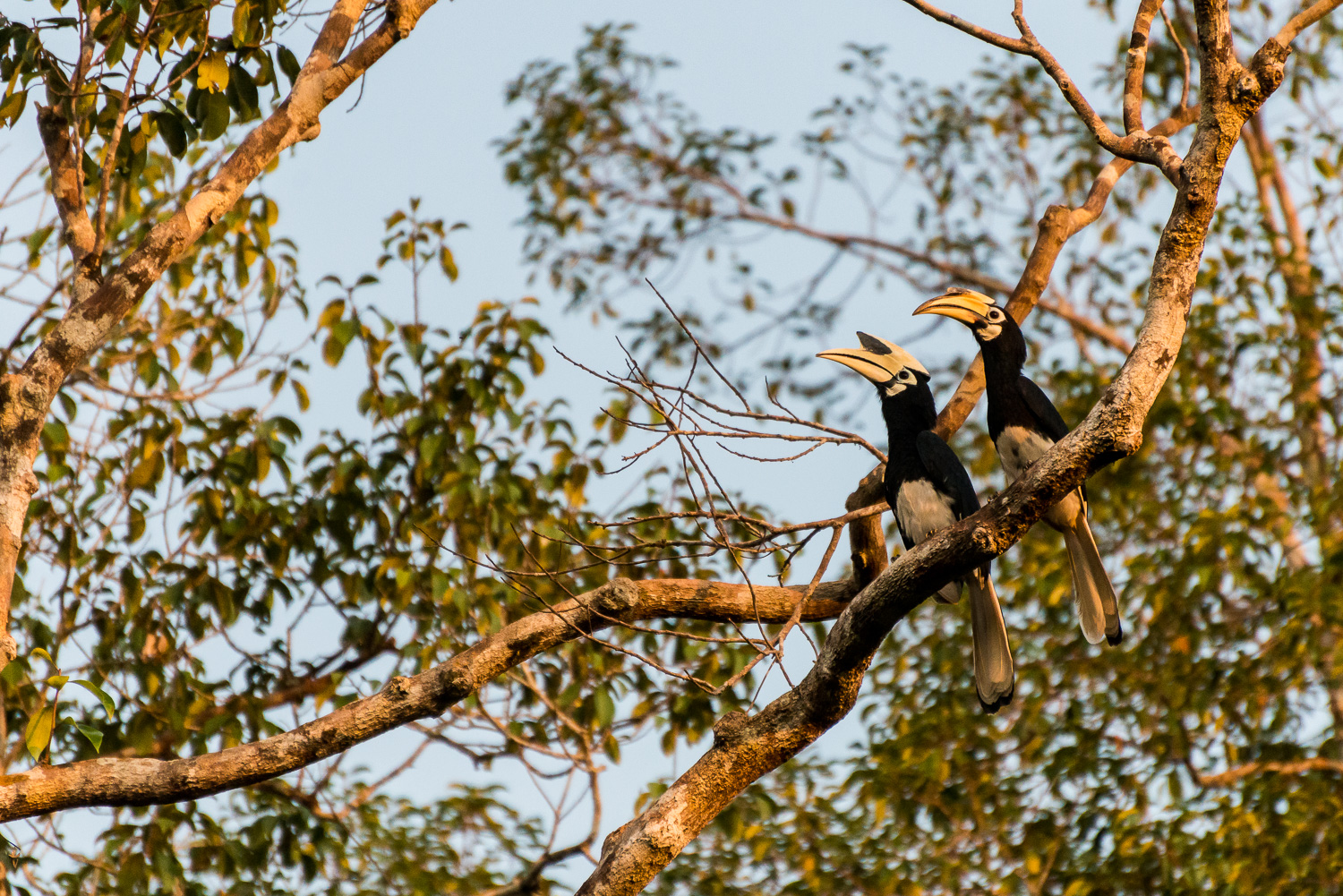 Oriental Pied Hornbill, Tanjung Puting National Park, Borneo, In