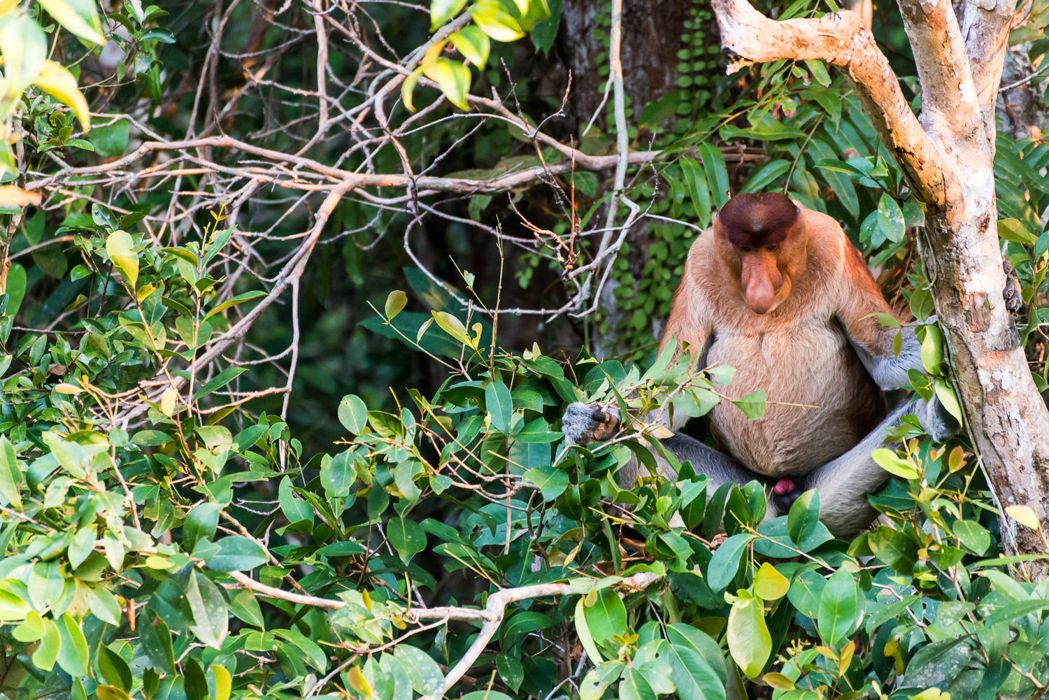 Proboscis Monkey, Tanjung Puting National Park, Borneo, Indonesi