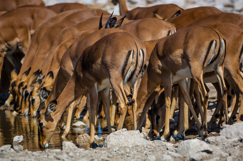 Impalas, Etosha NP, Namibia