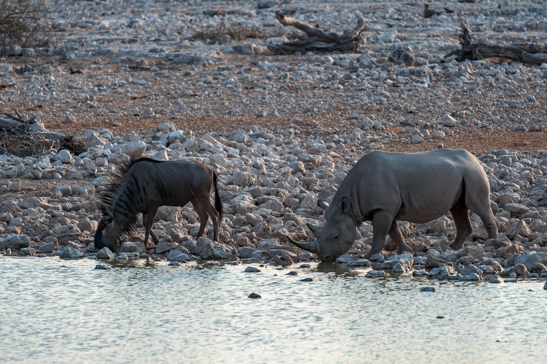 Black Rhinoceros, Etosha NP, Namibia