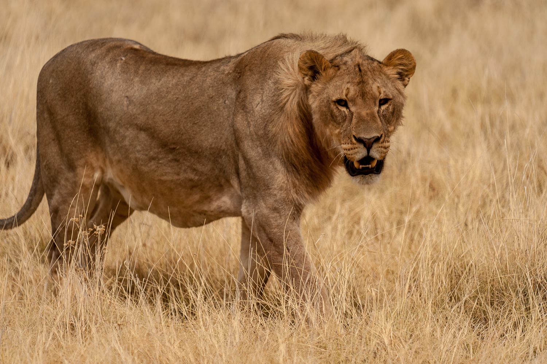 Male Lion, Etosha NP, Namibia
