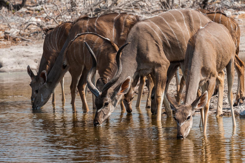 Kudus, Etosha NP, Namibia