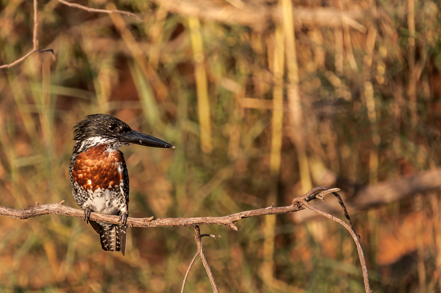 Male Kingfisher, Cubango River, Caprivi Strip Namibia