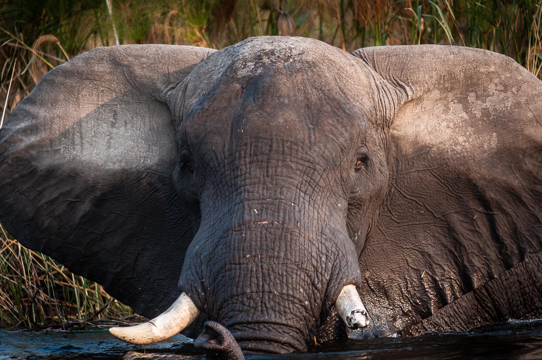 Elephant, Caprivi Strip, Okavongo River, Namibia
