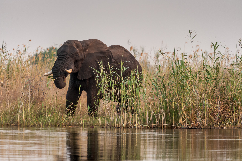 Male Elephant, Okavango River, Namibia