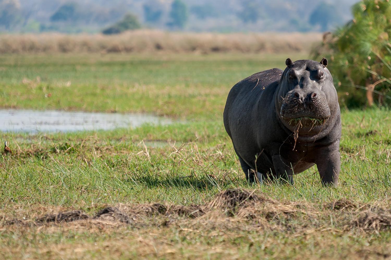 Hippopotamus, Cubango River, Caprivi Strip Namibia