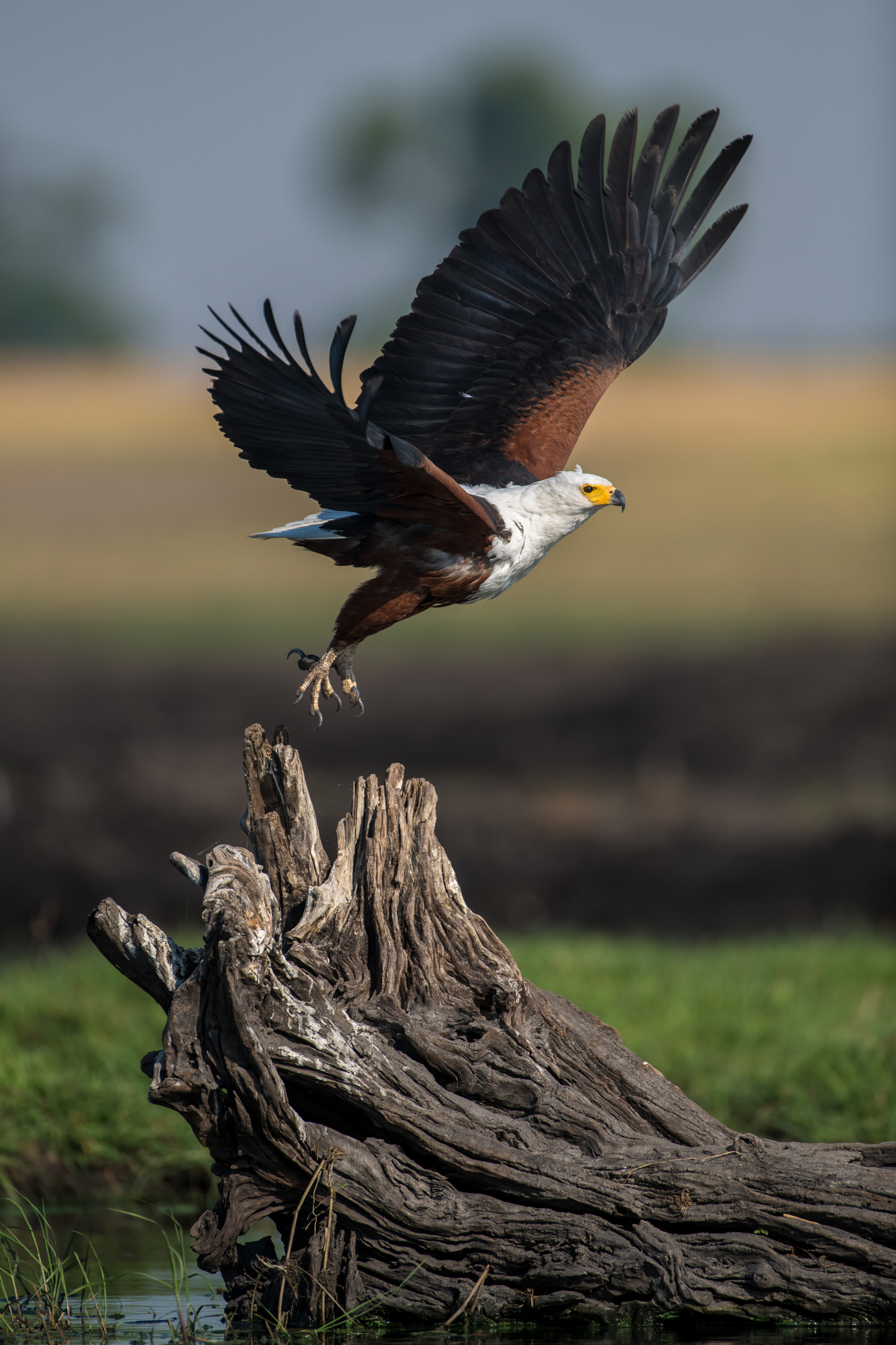 African fish eagle, Chobe National Park, Botswana