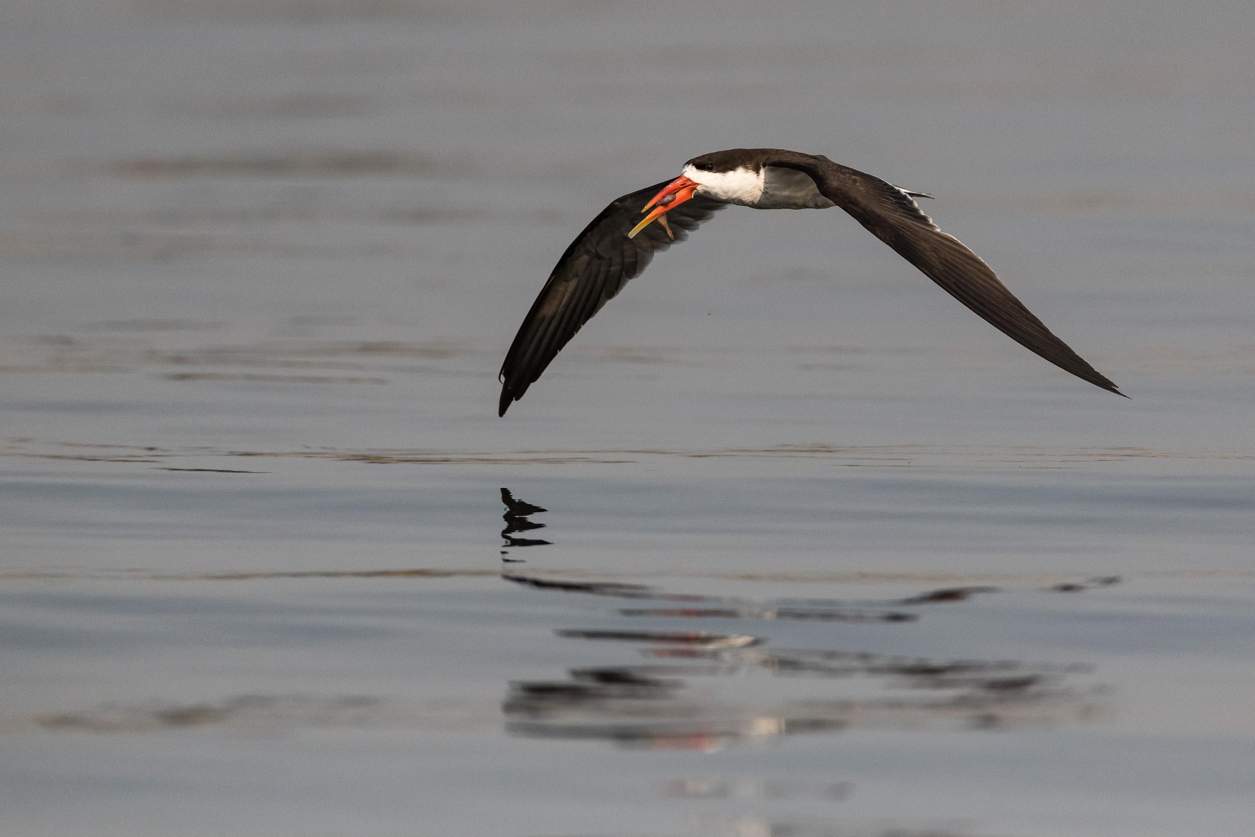 African skimmer, Chobe National Park, Botswana