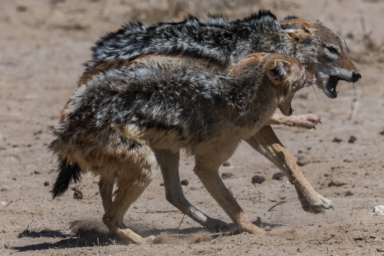 Black-backed jackal, Kgalagadi Transfrontier Park, Botswana
