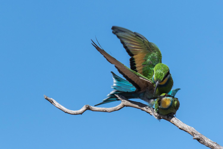 Swallowtailed Bee-eater, Kgalagadi Transfrontier Park, Botswana