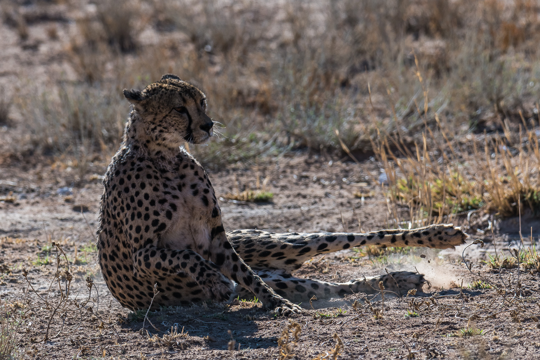 Cheetah, Kgalagadi Transfrontier Park, Botswana