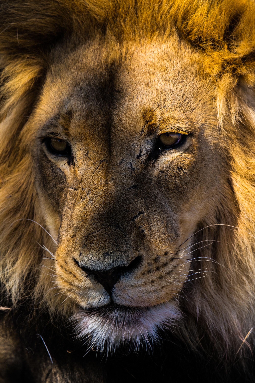 Lion, Kgalagadi Transfrontier Park, Botswana