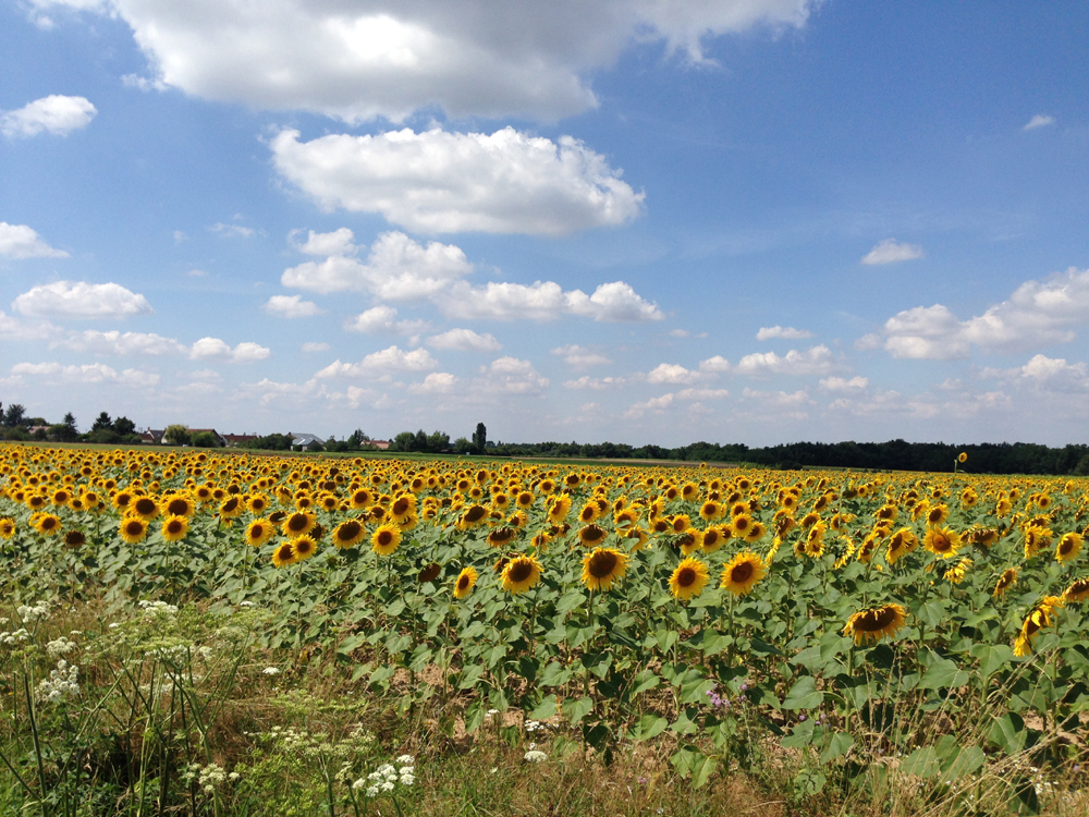 i loiredalen finns både vinodlingar och fält med solrosor