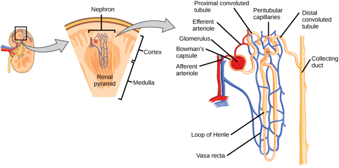The kidney, a nephron and the labelled anatomy.