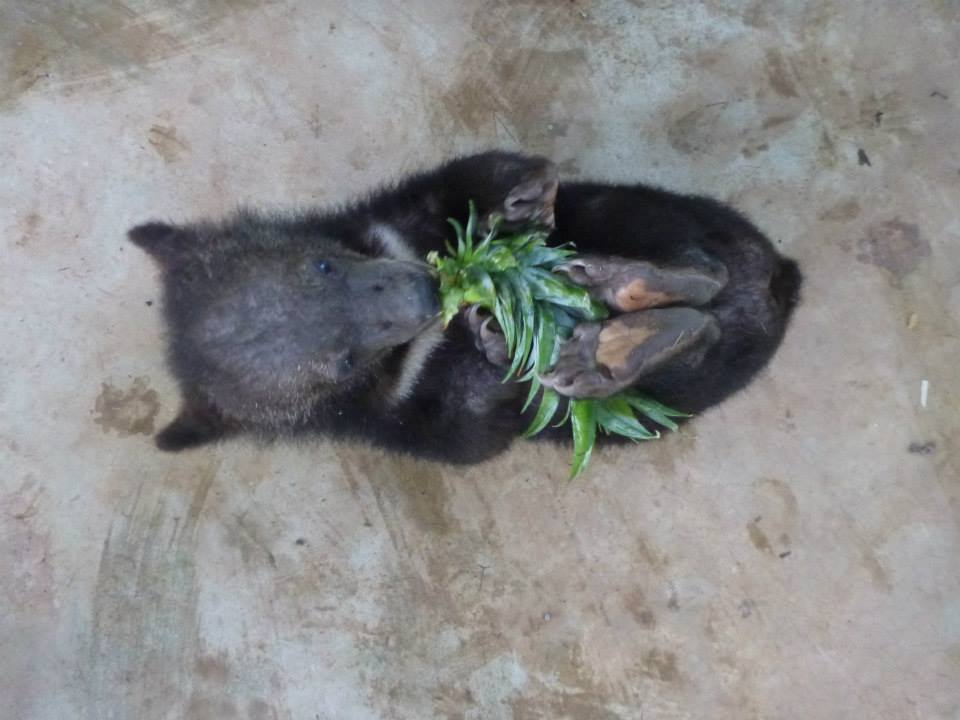 Asiatic black bear cub playing with pineapple in Laos