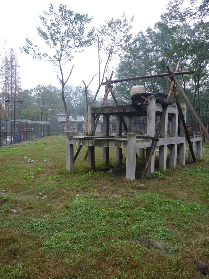 The bears have large enclosures which they share with friends, with lots of fun things to climb and play with!