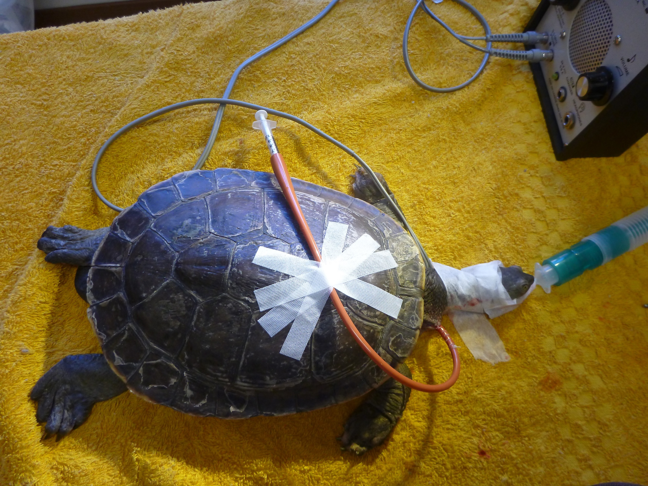 A turtle under anaesthetic after an oesophagostomy tube has been placed.