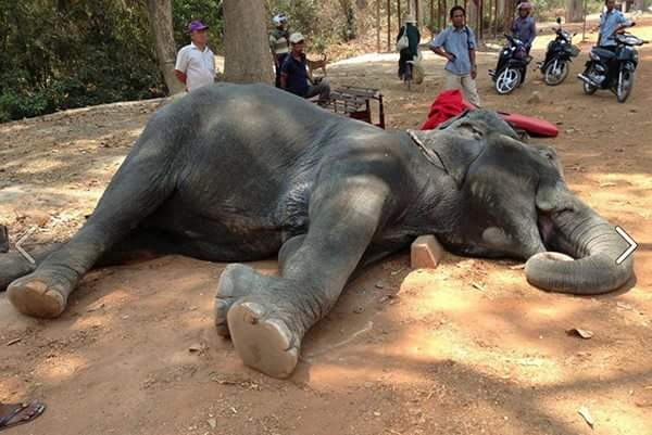 Trekking elephant dies from exhaustion at Angkor Wat Temple, Cambodia. Photo by EARS