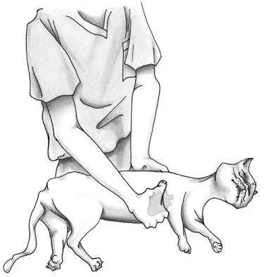 Hand placement for chest compressions on a cat.