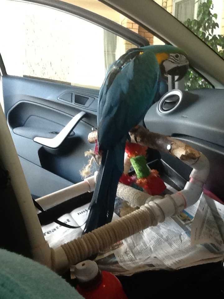Zazu's awesome car perch made by my hubbie. Zazu is also restrained with his harness.
