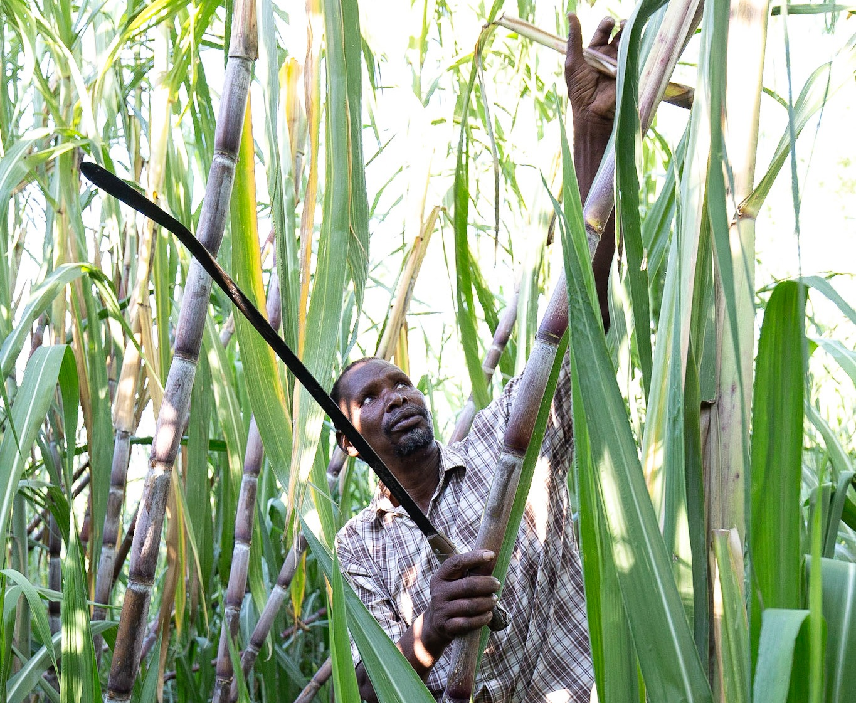Peter harvesting sugar cane.