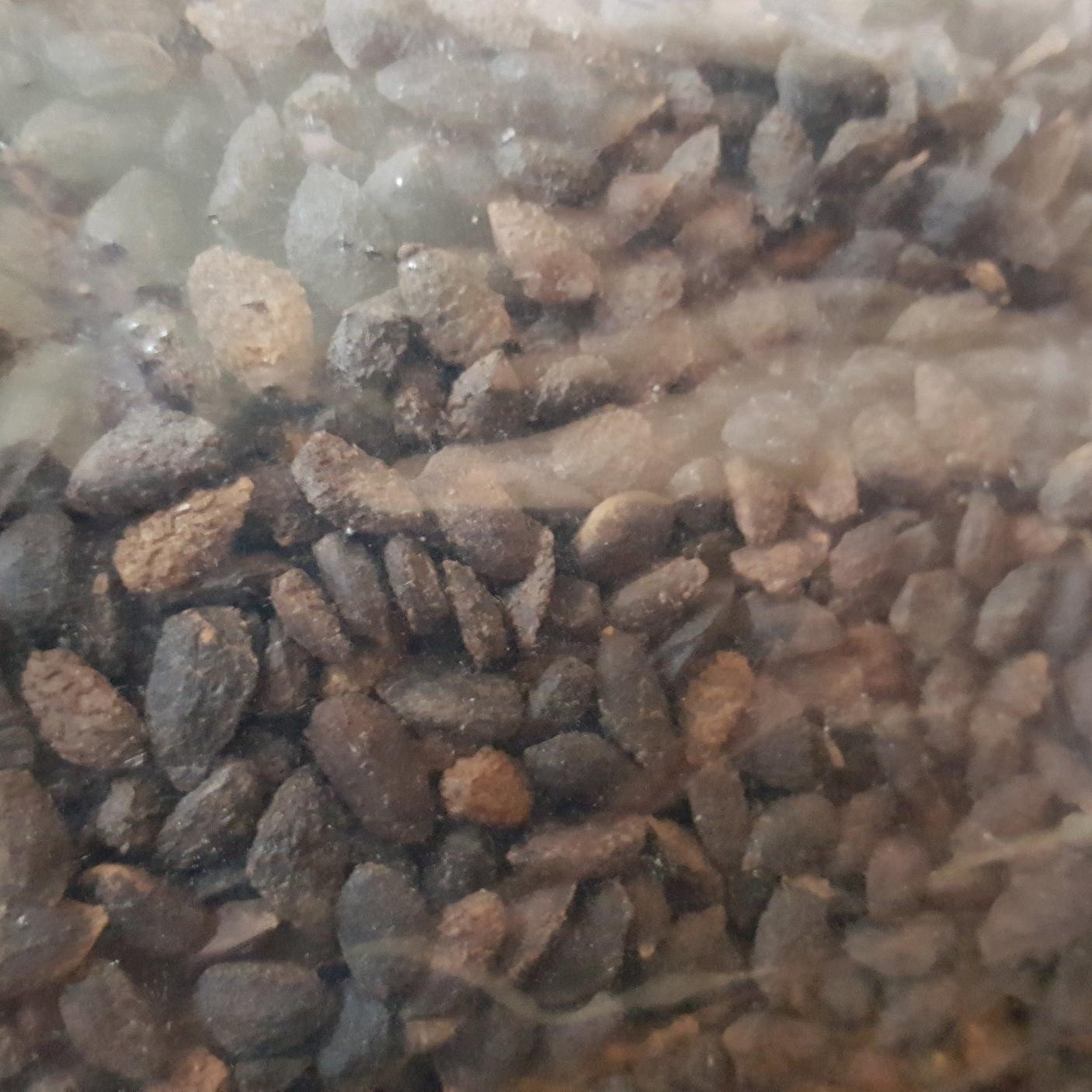 Fresh Monterey Pine (Pinus Radiata) seed packets