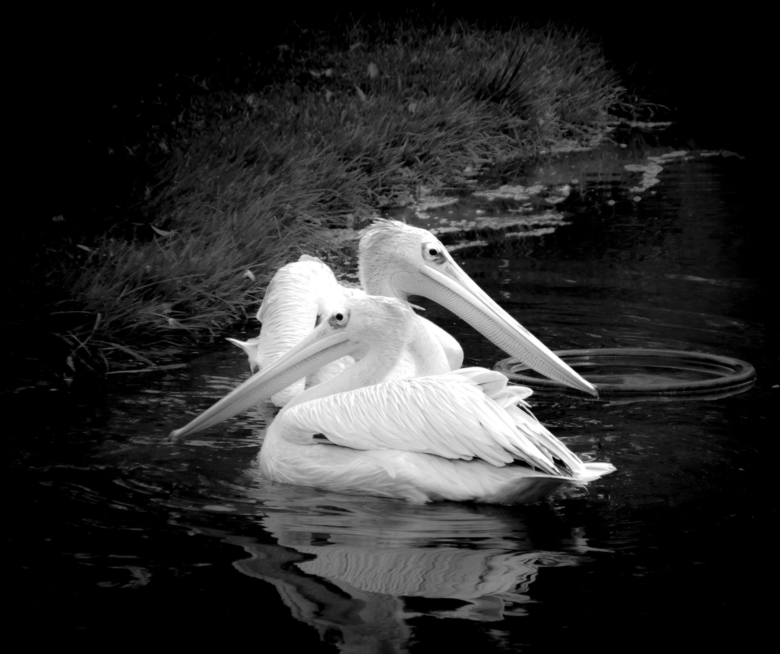 East/West Pelicans