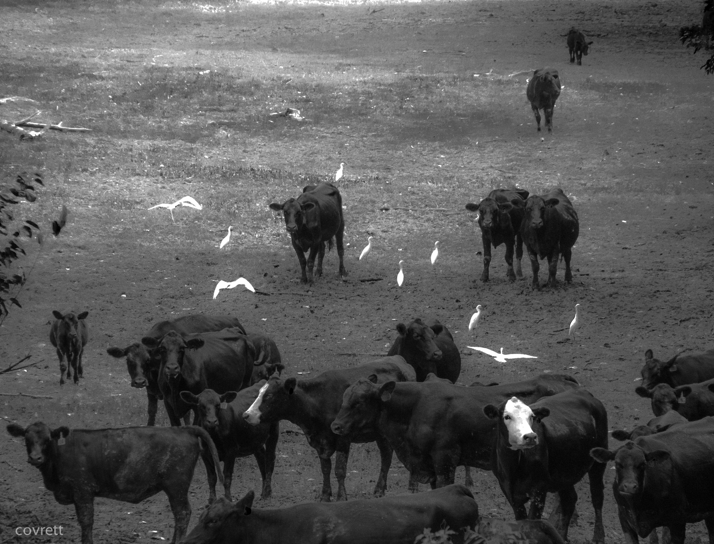 """Cattle with Cattle Egrets (@ """"the Crossroads""""), Rosedale,Ms."""