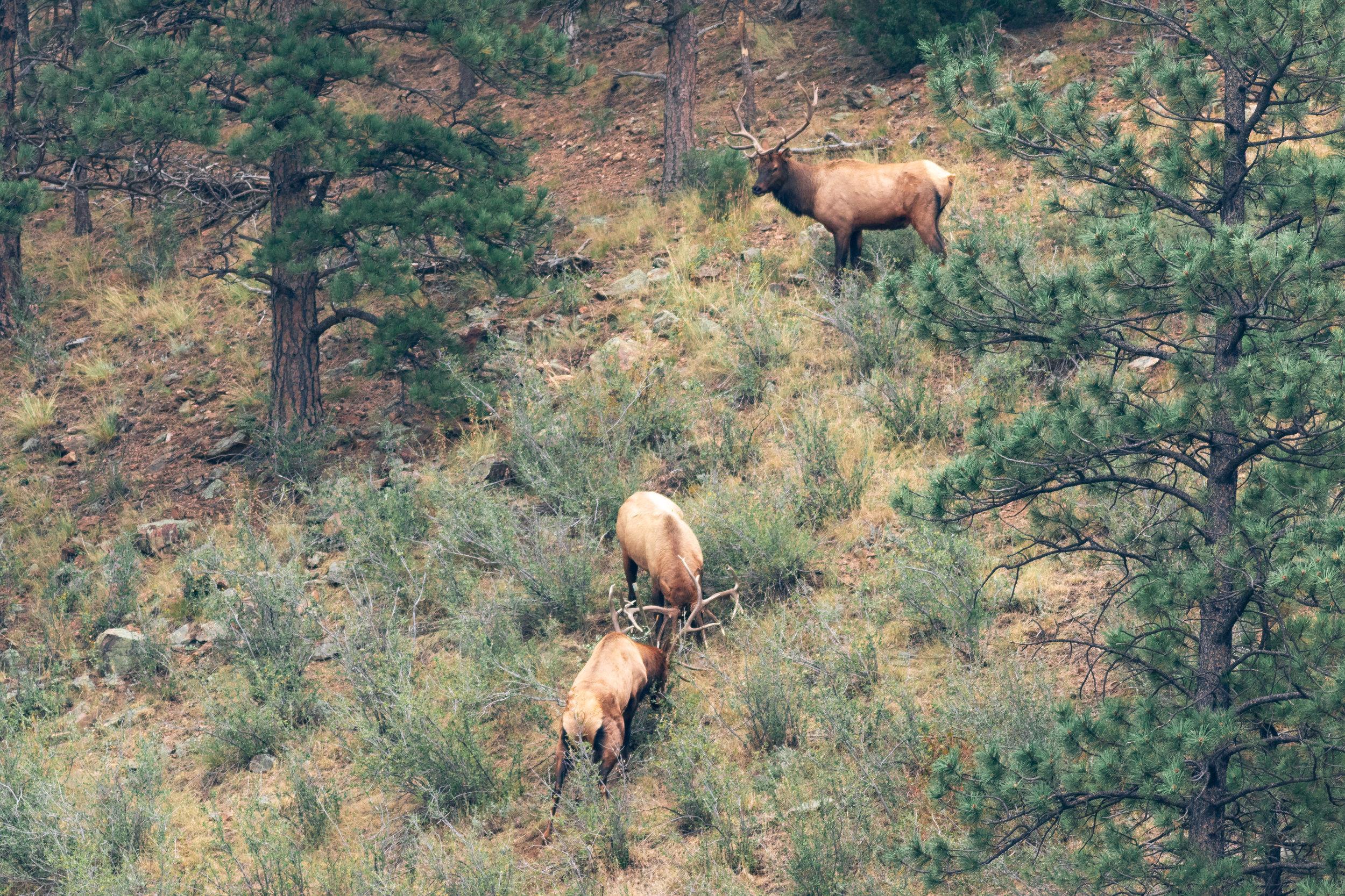 bull elk-8273.jpg