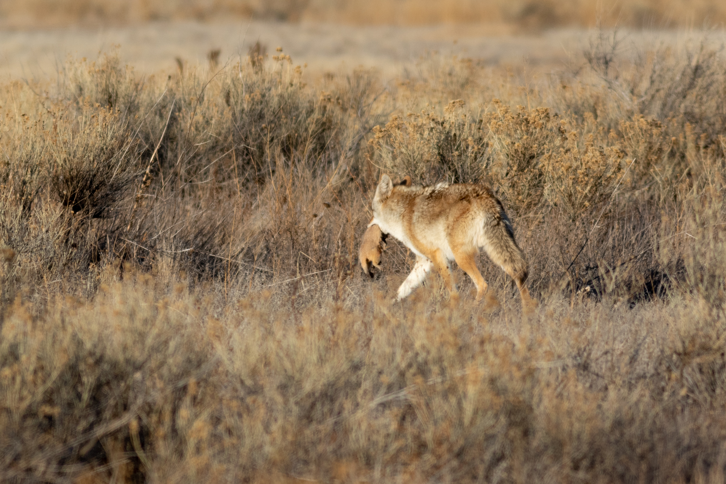 coyote-2513.jpg
