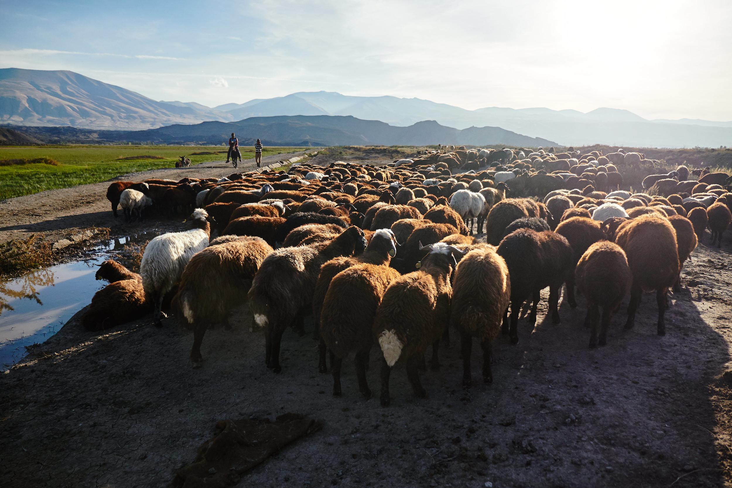 Sheep and shepheds at sunset
