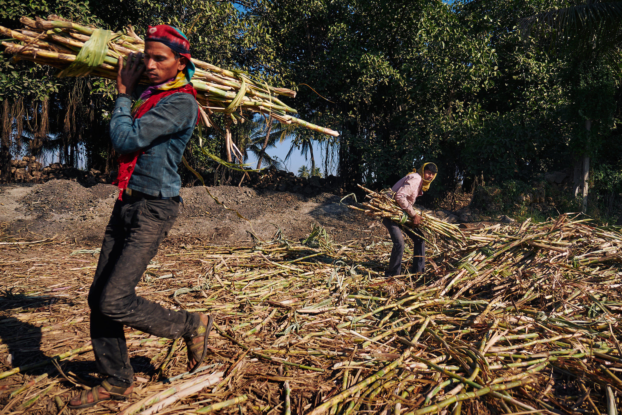 Sugarcane workers carrying sugarcane
