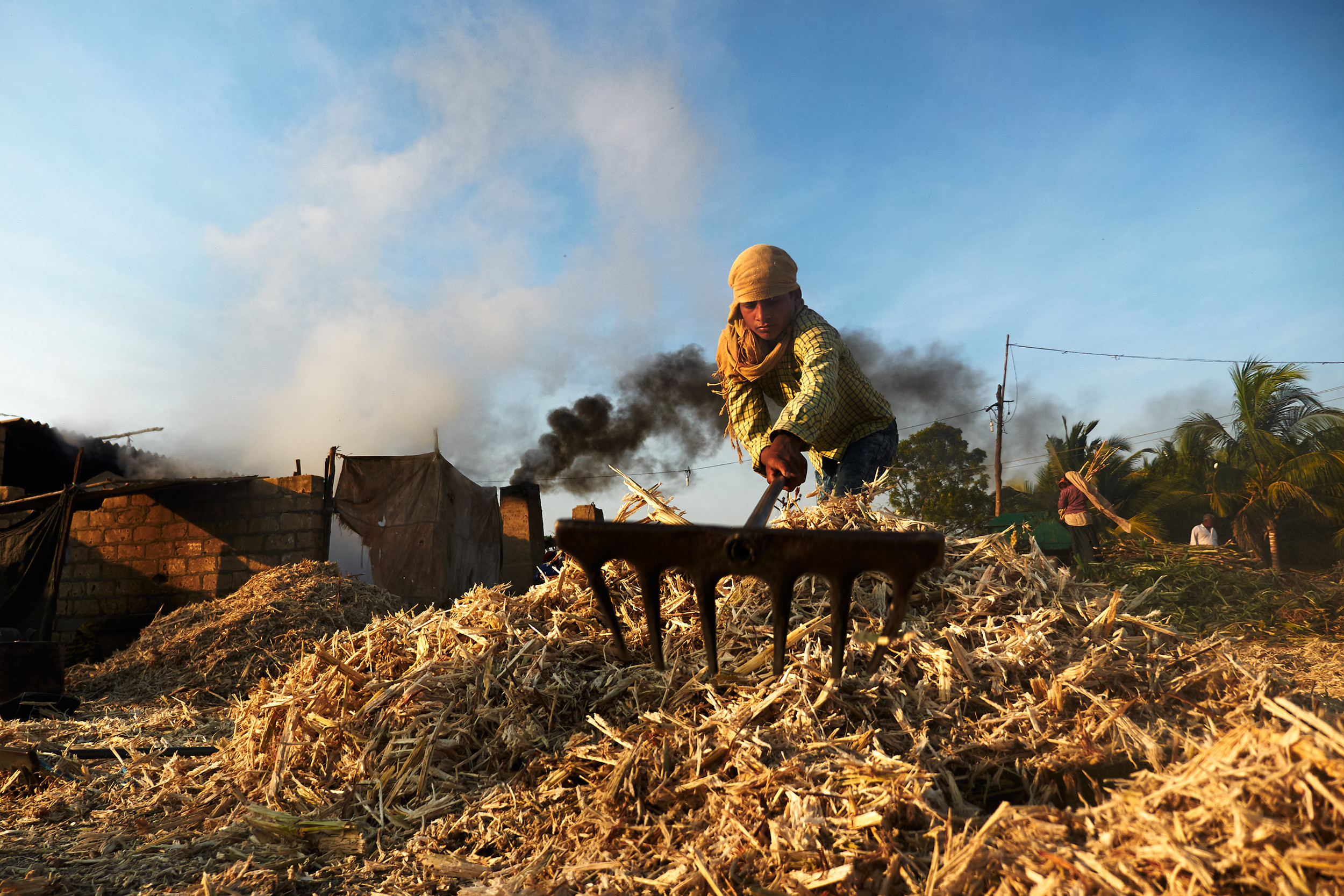 Sugarcane worker raking leftover sugarcane