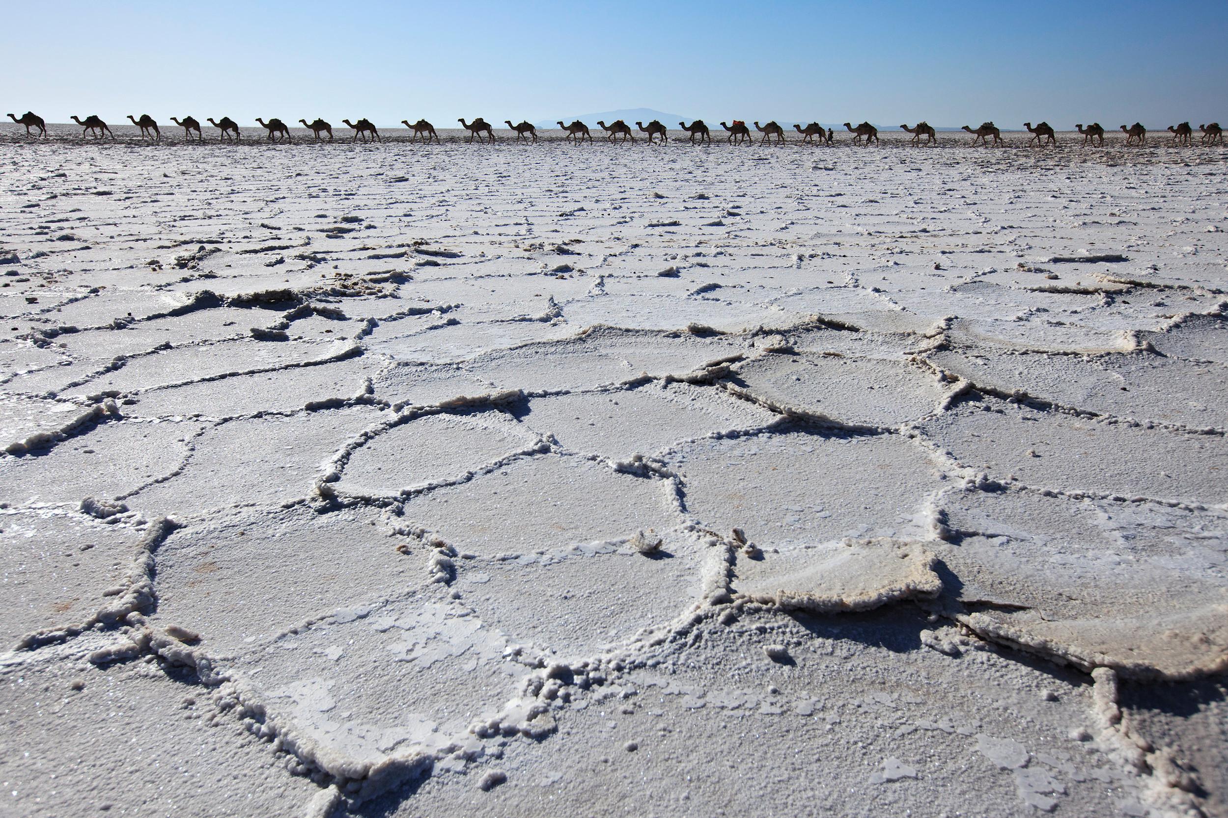 Camels walking along salt plains in Danakil Depression