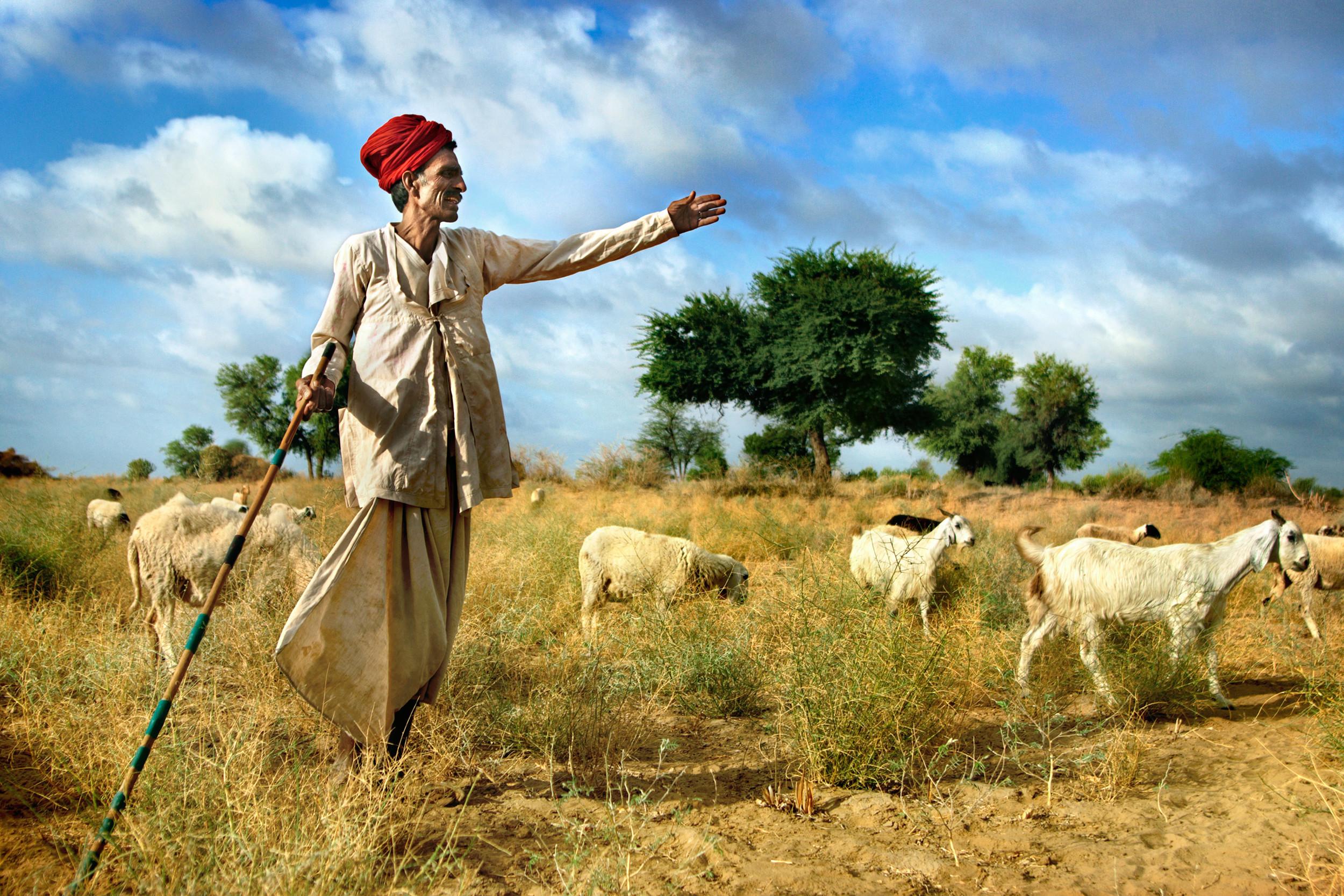 Rabari shepherd herding his animals