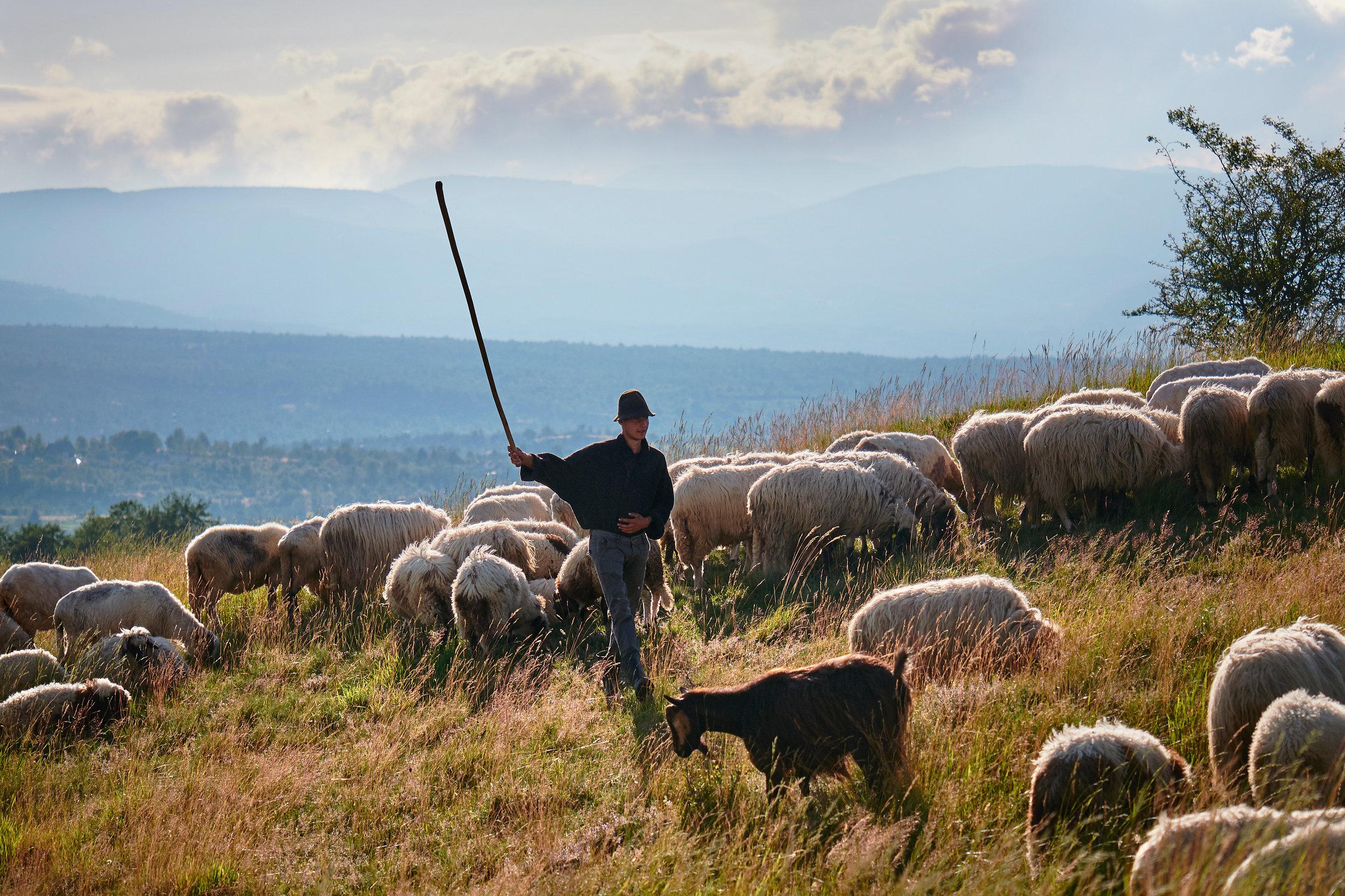 Shepherd-herding-sheep-and-goats-Maramures-Romania